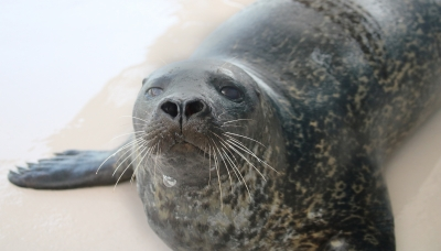 Photo for Gulfarium Marine Adventure Park Introduces New Harbor Seal