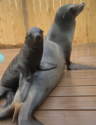 Photo for Baby Sea Lion Makes A Splash at Gulfarium